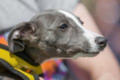 Windhundquergesichtsporträt, das zur Seite mit gelbem Geschirr schaut stockfotografie