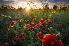 Windige Dawn Over Texas Wildflowers lizenzfreie stockfotografie