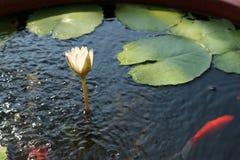 Windige Lotosblume Stockbild