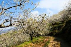Windiger Pfad unter Kirschblütenbäumen an einem sonnigen Tag Stockbilder