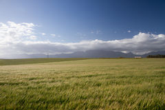 Windiges Weizenfeld Lizenzfreie Stockfotografie