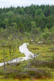 Winding boardwalk leading through bog area Royalty Free Stock Image