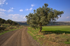 Winding dirt road and olive tree. In the Galilee, Israel Stock Images