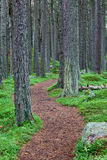 Winding forest footpath. A winding path in the pine forests of Scotland Royalty Free Stock Image