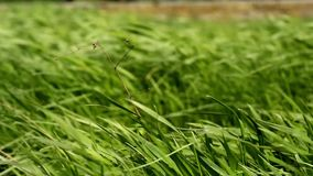 Winding. green grass stock video