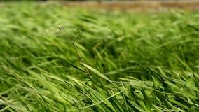 Winding. green grass. Winding and sequence green grass. park stock video