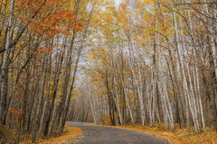 Winding maple road, autumn Royalty Free Stock Photo