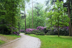 Winding path. With trees, grass and rhododendrons in flower stock image