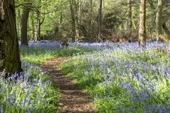Winding path through Bluebell Wood in Spring.  Royalty Free Stock Photo