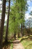 Winding path through the tall Larch trees at Corrieshalloch Gorge. Stock Photos