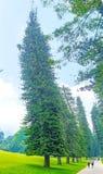 The winding pines Stock Photos