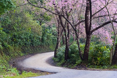 A winding road. An empty winding road lined up with rows of pink Sakura trees Royalty Free Stock Photo