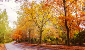Winding road with golden trees in Fall Royalty Free Stock Image