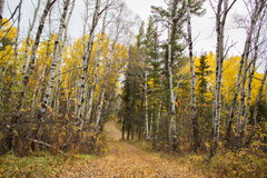 Winding road between tall fall colored trees. A winding trail between some bare and some yellow fall trees Stock Photo