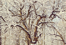 Winding tree branches covered with snow Royalty Free Stock Photos