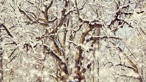 Winding tree branches covered with snow. Winding Twisting branches and trunks of trees covered with snow. Cinemagraph seamless loop animation motion gif render stock video footage