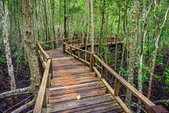 Winding wooden walkway in abundant mangrove forest of Thailand. Stock Image