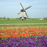 Windmühle mit Tulpenfeld Stockbild