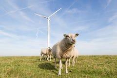 Windmühle und Schafe in den Niederlanden Stockbild