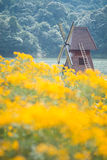 Windmill and chrysanthemum field Royalty Free Stock Photos