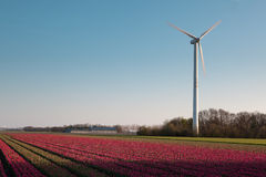 Windmill and Dutch tulips Royalty Free Stock Photo