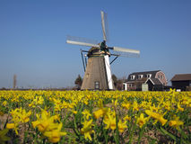 Windmill in field of daffodils in Holland. Windmille in field of yellow daffodils in Holland Royalty Free Stock Images