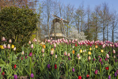 Windmill. A field of tulips in front of a typical Dutch windmill Stock Images