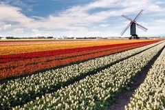 Windmill on field of tulips Royalty Free Stock Photos