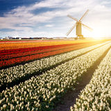 Windmill on field of tulips Stock Photo