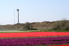 Windmill in Flower bulbs field as far as the eye can see, attracts many tourists. Stock Image