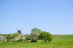 Windmill and grazing cows Royalty Free Stock Photo