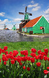 Windmill in Holland with canal. Traditional Dutch windmills with red tulips close the Amsterdam, Holland Stock Photo