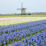 Windmill with hyacinth field stock images
