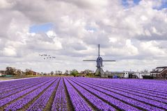 Windmill at the hyacinthes bulb farm stock photo