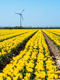 Windmill next to a farm with colorful tulip field stock image