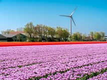 Windmill next to a farm with colorful tulip field royalty free stock images