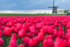Windmill North Holland province, Netherlands. Field of red tulips and windmill on the background. Koggenland, North Holland province, Netherlands royalty free stock photography