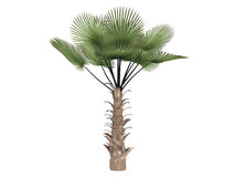 Windmill_palm_(Trachycarpus_fortunei) Stock Photo