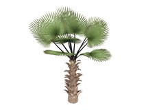 Windmill_palm_(Trachycarpus_fortunei) royalty free illustration