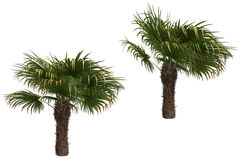 Windmill palms Royalty Free Stock Images