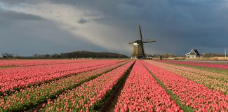Windmill with pink tulips under a cloudy sky. A traditional thatched windmill in a landscape with pink tulip flowers under a grey sky with storm clouds in spring stock photo