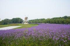 Windmill, purple Verbena bonariensis Stock Image