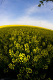 Windmill and rape field Royalty Free Stock Images