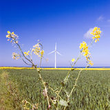 Windmill and rape plant Royalty Free Stock Photo