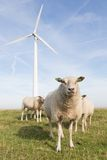 Windmill and sheep in the Netherlands Stock Images