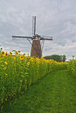 Windmill and sunflowers. This path towards the windmill is situated in the middle of a sunflower field Stock Photos