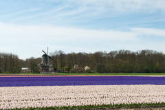 Windmill with tourists watching at the colorful hyacinths fields Stock Photography