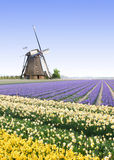 Windmill at the Tulip Bulb Farm. Typical Dutch Country side landscape with windmill and Tulip Bulbs Farm stock photos