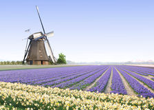 Windmill at the Tulip Bulb Farm. Typical Dutch Country side landscape with windmill and tulip bulb farm Royalty Free Stock Photos