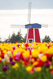 Windmill in a tulip farm Royalty Free Stock Photography